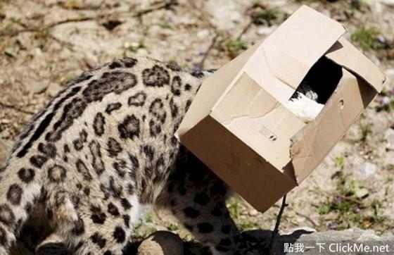 因为是大型猫科动物,比小猫还要来得凶猛和危险