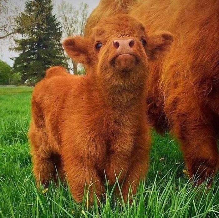 世界第一萌!純真無邪的蘇格蘭高地牛毛茸茸的可愛模樣超像絨毛娃娃[19P]